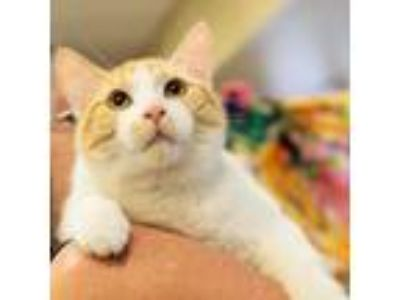 Adopt Parker a Domestic Short Hair