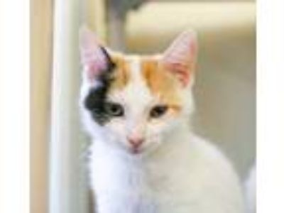 Adopt Esther a White Domestic Shorthair / Domestic Shorthair / Mixed cat in