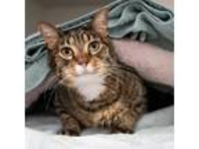 Adopt Buddie a Brown Tabby Domestic Shorthair (short coat) cat in Houston