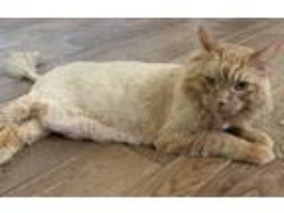 Adopt Ernie a Orange or Red Tabby Domestic Mediumhair cat in Anaheim