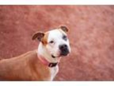 Adopt Allegra a Pit Bull Terrier / Mixed dog in Las Vegas, NV (23743026)