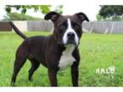 Adopt Mary Puppins a Pit Bull Terrier