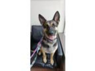 Adopt Wilma a German Shepherd Dog