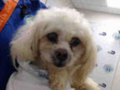 Adopt COOKIE a White Poodle (Miniature) / Mixed dog in Doral, FL (25568160)