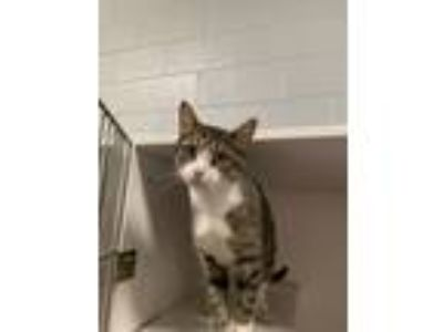Adopt Ollie a Gray, Blue or Silver Tabby Domestic Shorthair (short coat) cat in