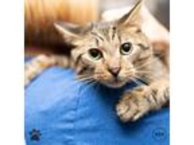 Adopt Hawk a Domestic Shorthair / Mixed cat in Richmond, VA (25330490)
