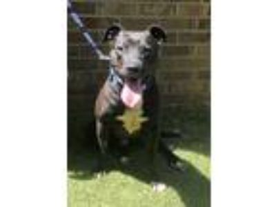 Adopt Bubbles a Black - with White American Pit Bull Terrier / American