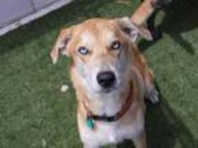 Adopt MARFA a Tan/Yellow/Fawn Labrador Retriever / Catahoula Leopard Dog / Mixed