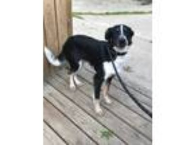 Adopt Hercules a Black - with Brown, Red, Golden, Orange or Chestnut Collie /