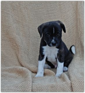 Pom-A-Poo-Border Collie Mix PUPPY FOR SALE ADN-88242 - Adorable Border Collie Mix Puppies