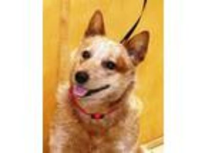 Adopt Harley a Red/Golden/Orange/Chestnut Cattle Dog / Mixed dog in Marble