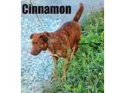 Adopt Cinnamon a Brown/Chocolate Chesapeake Bay Retriever / Mixed dog in