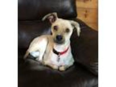 Adopt Spencer a Tan/Yellow/Fawn - with Black Wheaten Terrier / Poodle