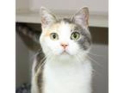 Adopt Marigold a White Domestic Shorthair / Domestic Shorthair / Mixed cat in