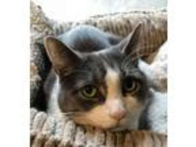 Adopt Lowell a Domestic Short Hair
