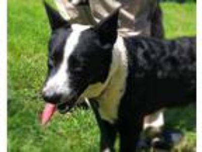 Adopt APLICA a Black - with White Border Collie / Mixed dog in St.