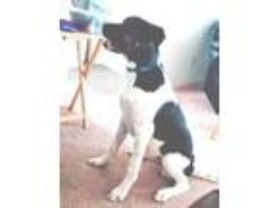 Adopt Musket a White Greater Swiss Mountain Dog / Labrador Retriever / Mixed dog