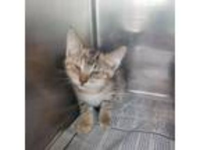 Adopt Gadot a Brown or Chocolate Domestic Shorthair cat in Starkville