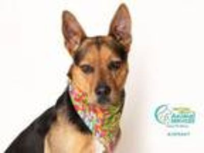 Adopt CLINT a German Shepherd Dog, Australian Cattle Dog / Blue Heeler