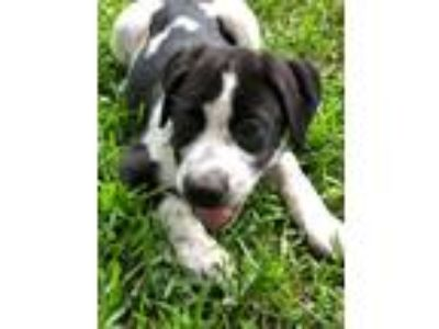 Adopt Wade a Black - with White Border Collie / American Pit Bull Terrier /