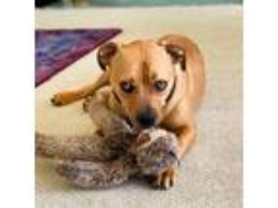 Adopt Rocky a American Staffordshire Terrier / Mixed dog in San Juan Capistrano