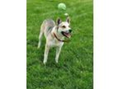 Adopt Chase a Husky