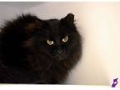 Adopt FLUFFY a All Black Domestic Mediumhair / Mixed (medium coat) cat in