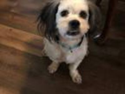 Adopt HENRY a Lhasa Apso, Poodle