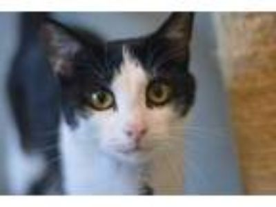 Adopt Finch a White Domestic Shorthair / Domestic Shorthair / Mixed cat in