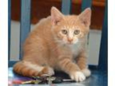 Adopt Kensington a Domestic Short Hair