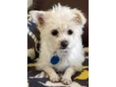 Adopt Candy a White - with Tan, Yellow or Fawn Terrier (Unknown Type