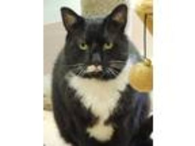 Adopt Chai a Black & White or Tuxedo Domestic Shorthair (short coat) cat in