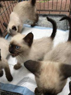 4 Male Siamese Kittens
