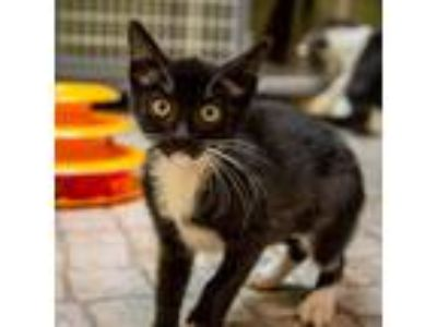 Adopt Nugget a Domestic Shorthair / Mixed (short coat) cat in St.