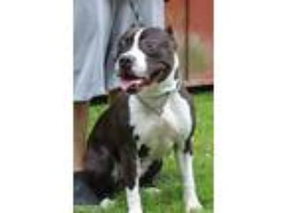 Adopt Rocket a Pit Bull Terrier / Mixed dog in Salisbury, MD (25636639)