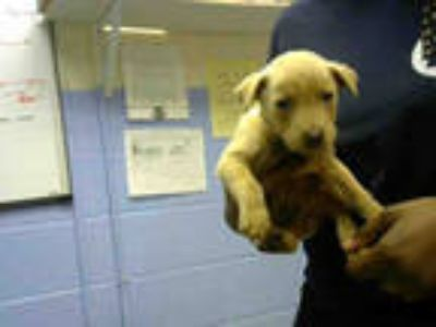 Adopt MUNCHKIN a Brown/Chocolate - with White Labrador Retriever / Mixed dog in