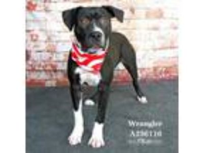 Adopt WRANGLER a Black - with White American Pit Bull Terrier / Mixed dog in