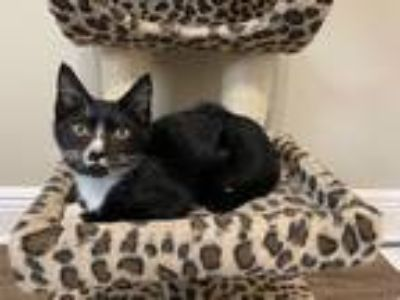 Adopt Albany a Black & White or Tuxedo Domestic Shorthair (short coat) cat in