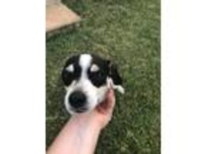 Adopt Piper and fatboy a Black - with White Rat Terrier / Rat Terrier / Mixed