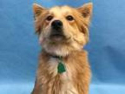 Adopt Britney a Red/Golden/Orange/Chestnut Golden Retriever / Chow Chow / Mixed