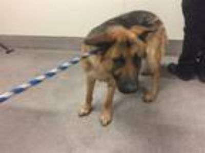 Adopt A517754 a German Shepherd Dog, Mixed Breed