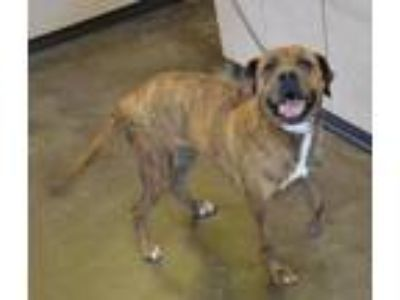 Adopt Tesla a Brindle Labrador Retriever / Plott Hound / Mixed dog in Rockwall