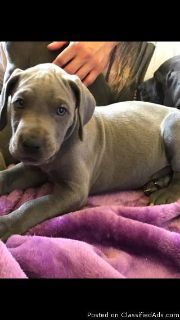 AKc Blue Great Dane Puppies. Ready To Leave.