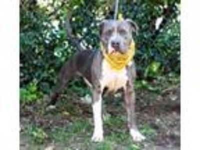 Adopt HUTCH a Pit Bull Terrier, Mixed Breed