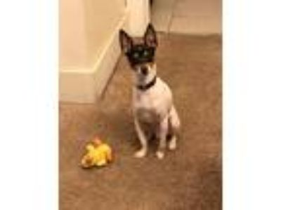 Adopt Ace a Black - with White Terrier (Unknown Type, Small) / Treeing Walker