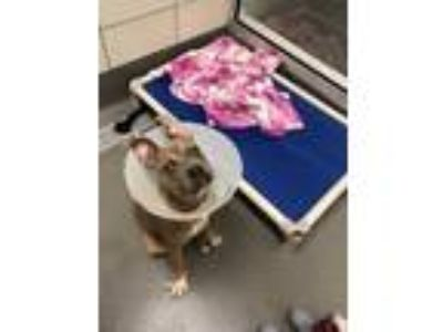 Adopt Stewie a Brown/Chocolate American Pit Bull Terrier / Mixed dog in Dallas