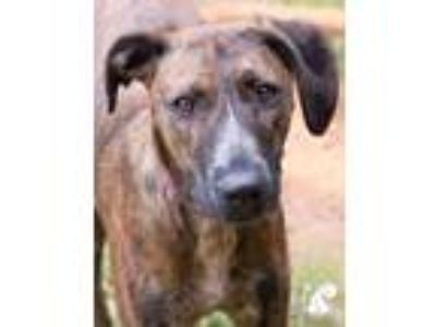 Adopt Tokay a Brindle Hound (Unknown Type) / Belgian Malinois / Mixed dog in