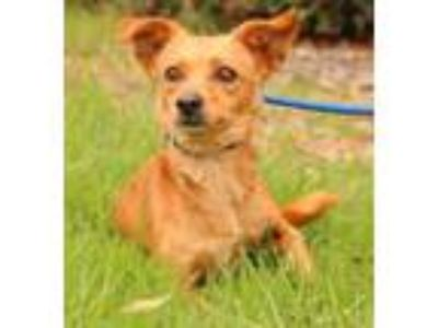 Adopt Fairlead a Tan/Yellow/Fawn Basenji / Dachshund / Mixed dog in San Diego