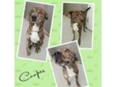 Adopt COOPER a Brindle - with White Shepherd (Unknown Type) / Mixed dog in
