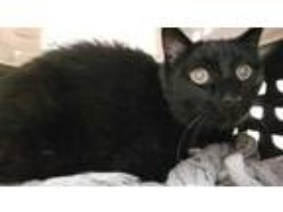 Adopt SWEET STUFF a All Black Domestic Shorthair / Mixed (short coat) cat in